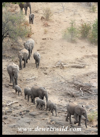 Herd of elephant marching to the water