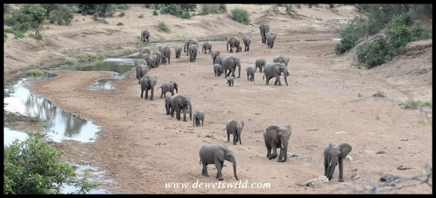 Elephant herd moving along a dry river