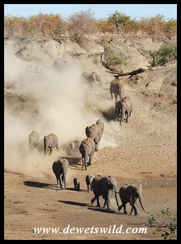 Elephant herd running to the water