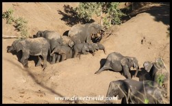 Elephant herd enjoying a social dust bath after bathing in a waterhole
