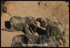 Elephant tussle