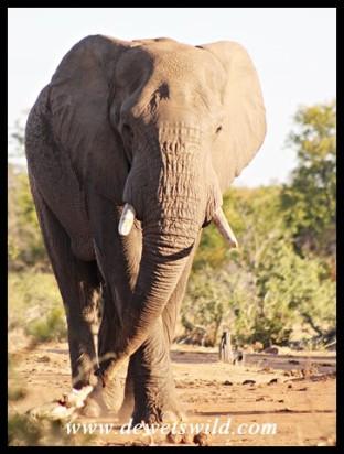 Beautiful elephant bull