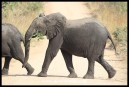 Elephant youngster enjoying a snack while crossing the road