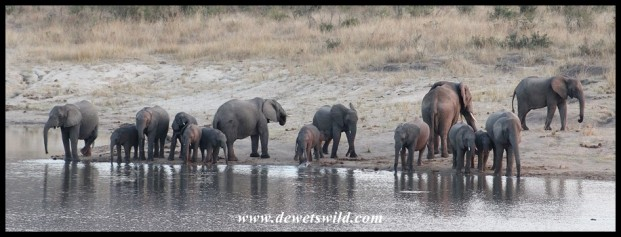 Elephant herd quenching their thirst at Shitlhave Dam