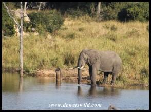 Elephant bull at Mestel Dam