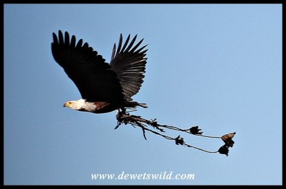 African Fish Eagle in flight with nesting material