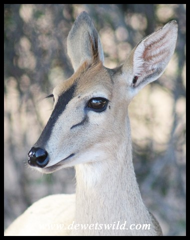 Common, or Grey, Duiker