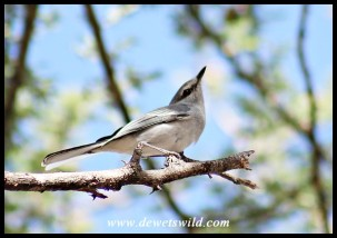 Grey Tit Flycatcher