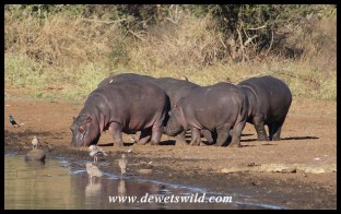 Hippo gang at Sunset Dam