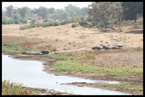 A large pod of hippo and their shrinking waterhole