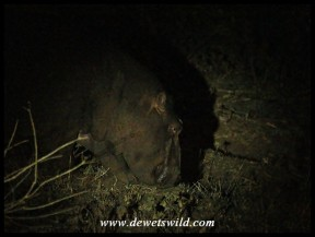 Hippo in the dark, grazing past our camp