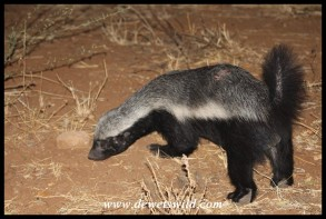 Honey Badger next to the fence at Shingwedzi