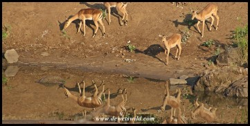 Impalas reflecting in the waterhole