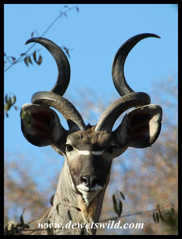 Immature Kudu Bull at Biyamiti Weir