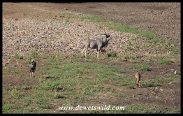 Kudu, nyala and impala share a stretch of the dry Shingwedzi