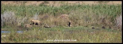 Lions in the grass next to the Crocodile River