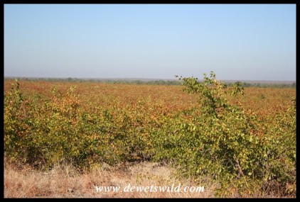 Mopane shrubs