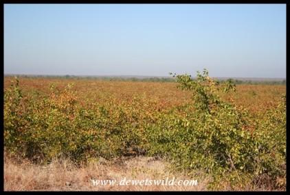 Mopane shrubs