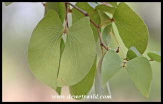 Mopane leaves are uniquely butterfly- or spoor-shaped