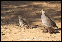 Natal Spurfowl hen with chick