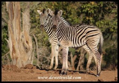 Plains Zebra foals