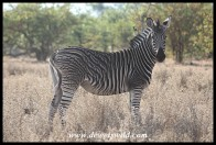 Plains Zebra with unique pattern