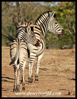 Plains zebra mare and foal