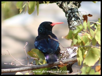 Red-billed Wood-hoopoe
