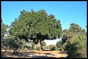 Large Jackalberry tree on the Mphongolo Road
