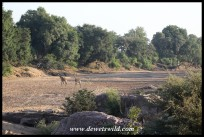 Giraffe crossing the dry bed of the Shingwedzi