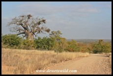 Baobab in a see of mopane, on the way to Bateleur