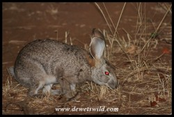 Scrub Hare next to the fence at Shingwedzi