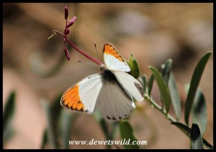 Small Orange Tip (male)