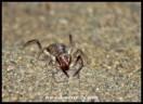 Solifuge a.k.a. Sun Spider