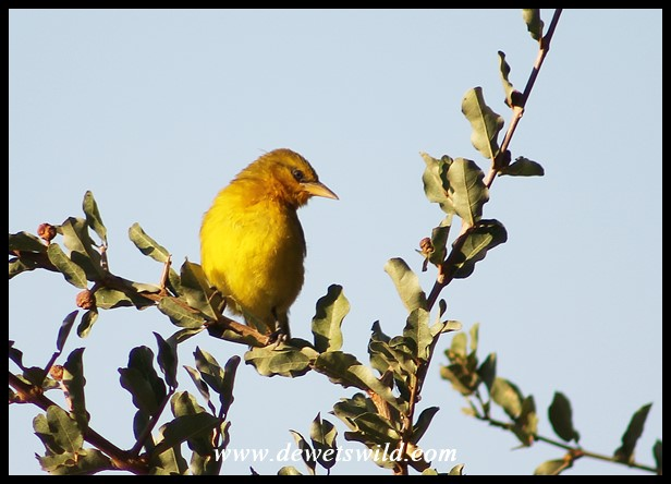 Immature Spectacled Weaver