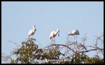 African Spoonbills
