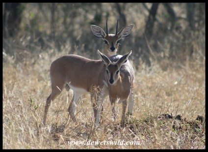 Steenbok pair