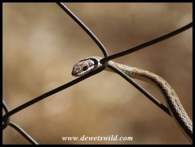 Western Stripe-bellied Sand Snake