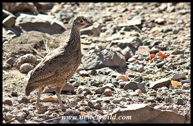 Immature Swainson's Spurfowl