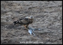 Tawny Eagle with hare prey