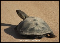 Marsh Terrapin encountered on dry land