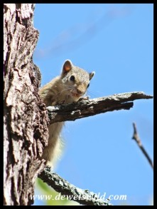 Southern African Tree Squirrel