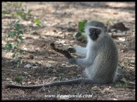 Vervet Monkey youngster with a pod of some kind