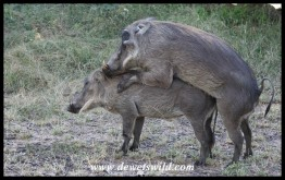 Warthogs investing in their future.