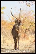 Waterbuck Bull