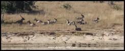 Waterbuck herd at Transport Dam