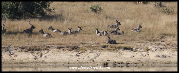 Waterbuck herd at Transport Dam