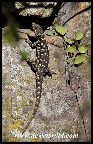 Barberton Girdled Lizard