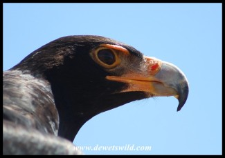 Ashanti the Verreaux's Eagle