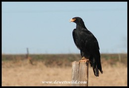 Ashanti the Verreaux's Eagle (photo by Joubert)